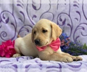 Labrador Retriever Dog for Adoption in LANCASTER, Pennsylvania USA