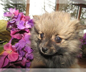 Pomeranian Puppy for sale in SOUTH BEND, IN, USA