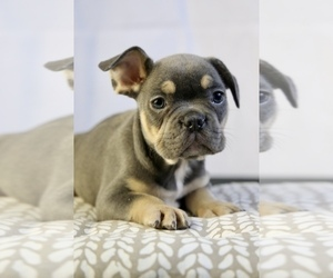 French Bulldog Dog for Adoption in BROOKLYN, New York USA