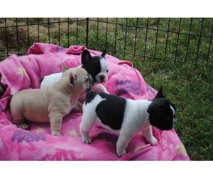 American French Bull Terrier Puppy for sale in CENTREVILLE, VA, USA