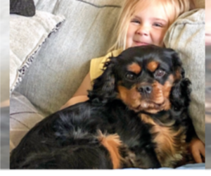 Father of the Cavalier King Charles Spaniel puppies born on 11/04/2020