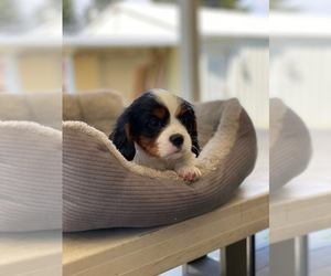 Cavalier King Charles Spaniel Puppy for sale in NINE MILE FALLS, WA, USA