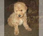 Small #7 Labradoodle