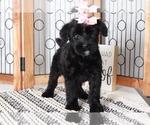 Maggie Stunning Female AKC Giant Schnauzer Puppy