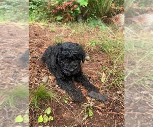 Labradoodle Puppy for Sale in ARLINGTON, Washington USA