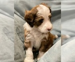 Puppy 4 Bernedoodle-Poodle (Standard) Mix