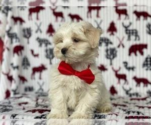 Morkie Dog for Adoption in LANCASTER, Pennsylvania USA