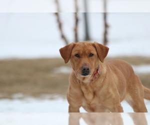 Mother of the Labrador Retriever puppies born on 10/25/2020
