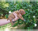 Puppy 1 Vizsla