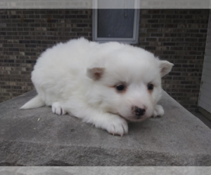 American Eskimo Dog Puppy for sale in S BEND, IN, USA