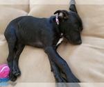 Small Labrador Retriever Mix