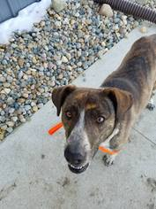 Mountain Cur Dog For Adoption in Carroll, IA