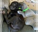 Puppy 4 Neapolitan Mastiff