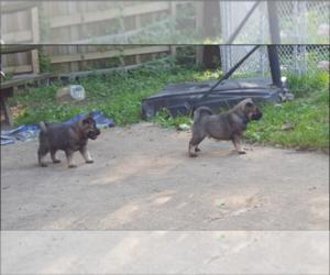 Norwegian Elkhound Dog for Adoption in PLATTEVILLE, Wisconsin USA