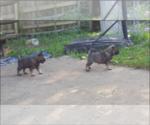 Norwegian Elkhound puppy for sale