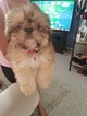 Shih Apso Puppy For Sale in PHILADELPHIA, PA