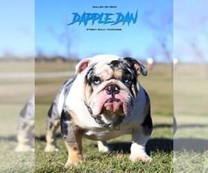 Bulldog Puppy for Sale in HOUSTON, Texas USA