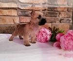 Puppy 0 Cairn Terrier