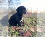 Puppy 3 Boxador