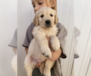 Golden Retriever Puppy for sale in LAKEWOOD, CA, USA