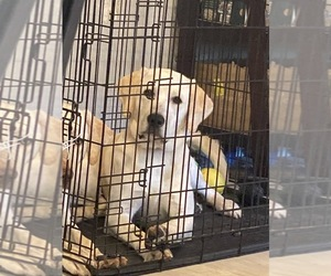 Labrador Retriever Puppy for sale in CYPRESS, CA, USA