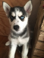 Siberian Husky Puppy For Sale in JOPLIN, MO, USA