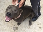 American Pit Bull Terrier Puppy For Sale near 63090, Washington, MO, USA