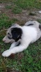 Border Collie Puppy For Sale in RANDOLPH, AL