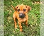 Puppy 2 Rhodesian Ridgeback