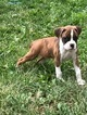 Last boxer puppy