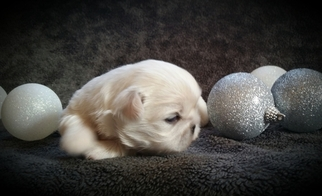 Pekingese Puppy For Sale in LEESVILLE, SC