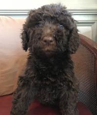 Labradoodle Puppy For Sale in BARNESVILLE, GA, USA