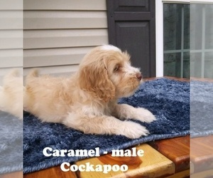 Cocker Spaniel-Poodle (Miniature) Mix Puppy for sale in CLARKRANGE, TN, USA
