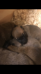 Belgian Malinois Puppy For Sale in MARION, AL,