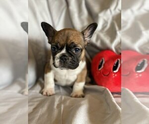 French Bulldog Puppy for sale in CHESTNUT STREET, IL, USA