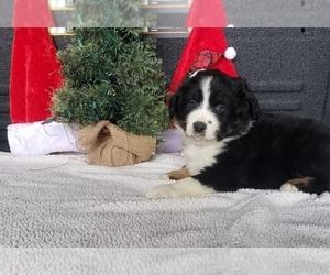 Australian Shepherd Puppy for sale in DERBY, IA, USA