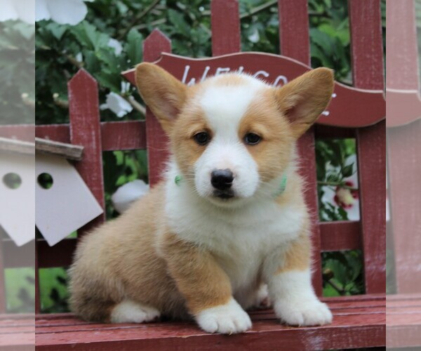 View Ad: Pembroke Welsh Corgi Puppy for Sale near In Netherlands