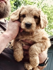 Goldendoodle Puppy For Sale in SOUTHWICK, MA, USA
