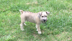 Schnauzer (Miniature) Puppy For Sale in SOUTH BEND, IN, USA