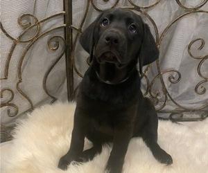 Labrador Retriever Puppy for sale in HOUSTON, TX, USA