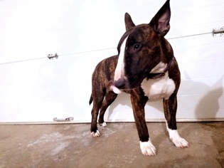 View Ad Bull Terrier Puppy For Sale Iowa West Des Moines Usa