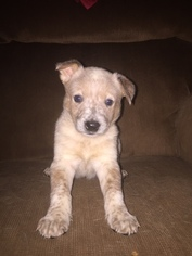 Australian Cattle Dog Puppy For Sale in TOWNSEND, DE, USA