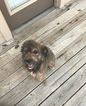 Aussiedoodle Puppy For Sale in SANGER, TX,