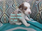 Miniature Australian Shepherd Puppy For Sale in NORFOLK, Nebraska,