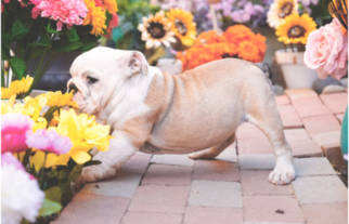 Bulldog Puppy For Sale in APPLE VALLEY, CA, USA