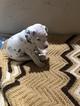 Small #15 Dalmatian