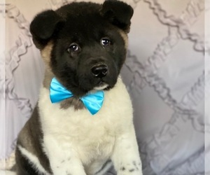 Akita Puppy for sale in LANCASTER, PA, USA