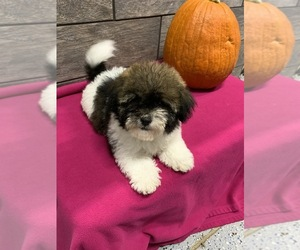 Havanese Puppy for Sale in RICHMOND, Illinois USA