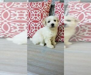 Coton de Tulear Puppy for sale in ROCKFORD, MI, USA