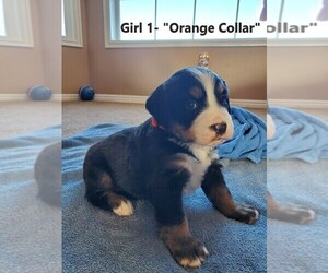 Bernese Mountain Dog Puppy for Sale in REXBURG, Idaho USA